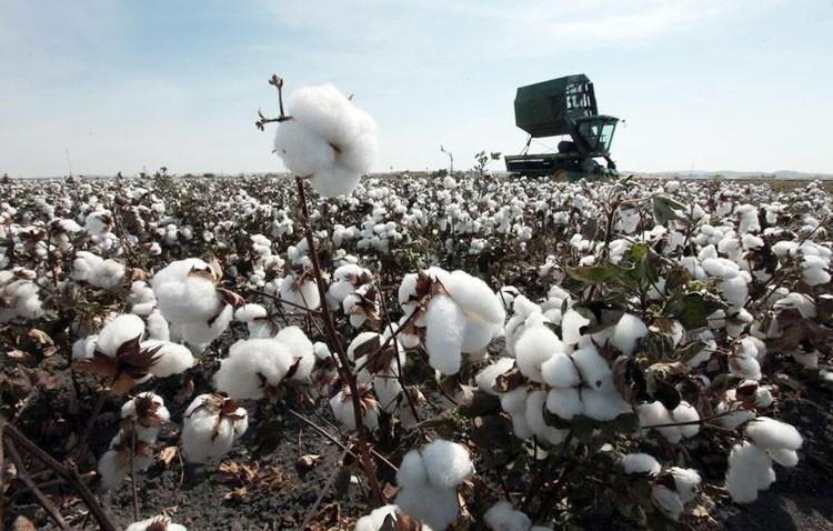 recogida del algodón