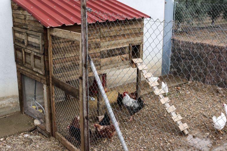 gallinas de la hacienda